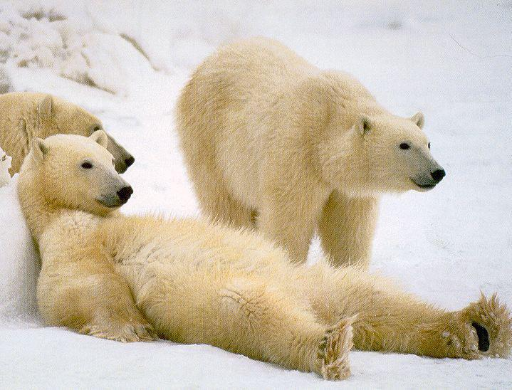 lazy polar bear 1.jpg