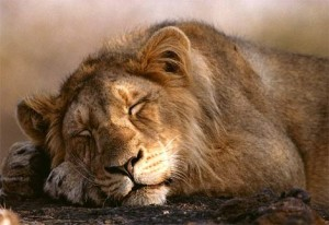 sleep lion.jpg