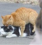 cat mating 4.jpg