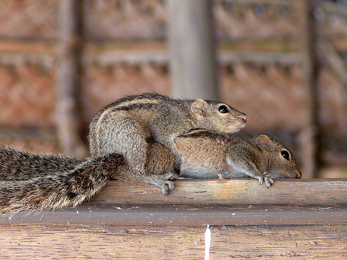 squirrel mating 1.jpg