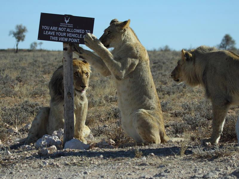lion reading sign.jpg