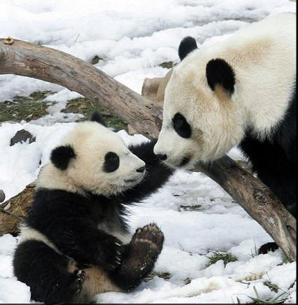 panda mother baby 1.png