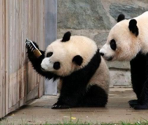 panda open the lock.jpg