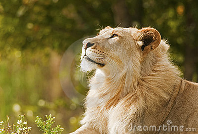 lion dreaming 2.png