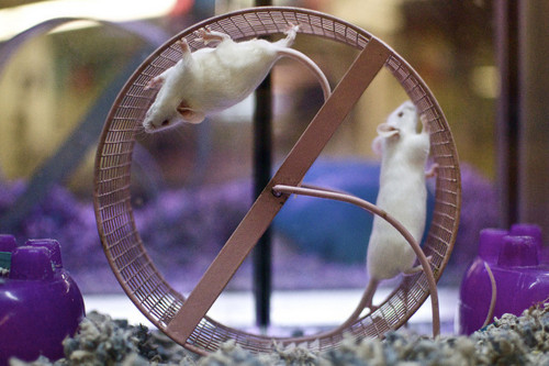 rat on wheel - 500.jpg