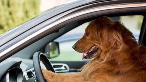 golden retriver drives car.jpg